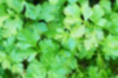 cilantro-leaves-close-up.jpg