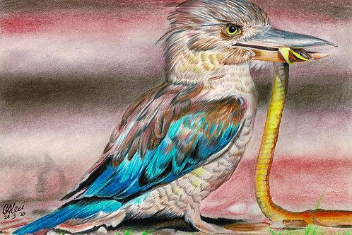 Kookaburra Drawing in Pastels