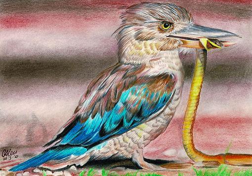 Kookaburra 2.jpg