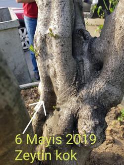 zeytin ölü ağaç kurtarma (2).jpg