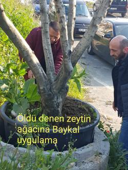 zeytin ölü ağaç kurtarma (3).jpg