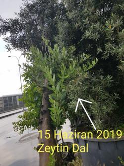 zeytin ölü ağaç kurtarma (4).jpg