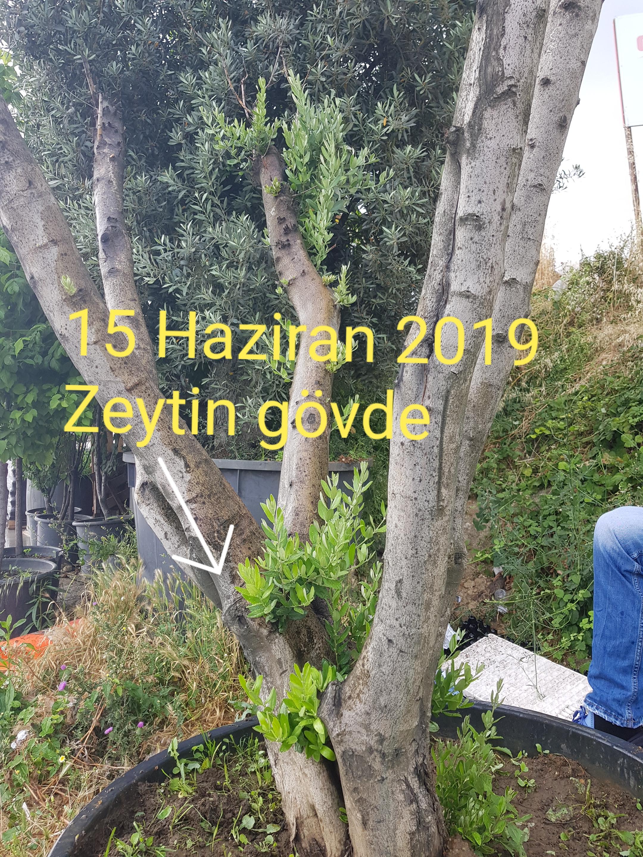 zeytin ölü ağaç kurtarma (5).jpg