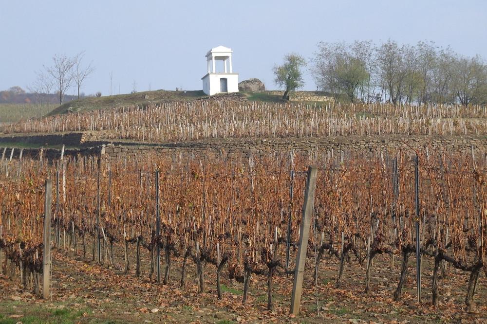 Tokaj Vineyard before harvest