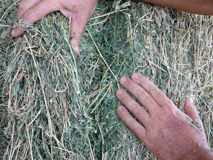 Beef herd resurgence is good news for hay and fodder growers