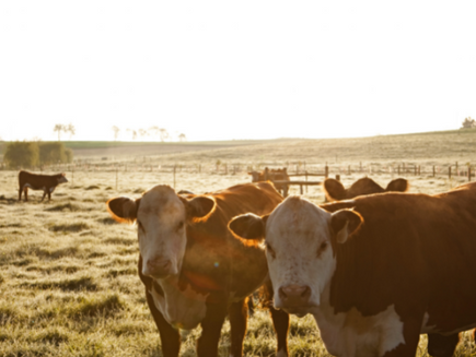 Grainfed cattle make up 50% of beef production