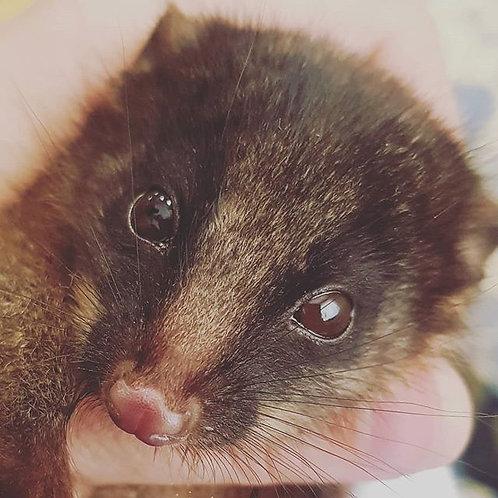 Adopt a Ringtail Possum