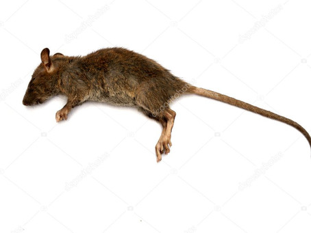 How to dispose of dead mice and rats?