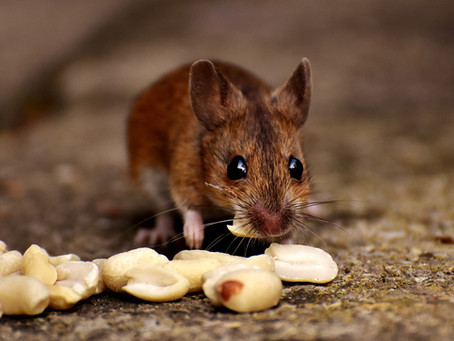 How To Keep Mice Away from your House