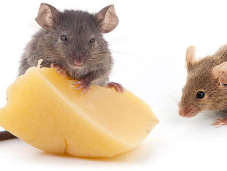 Things to consider before catching a mouse