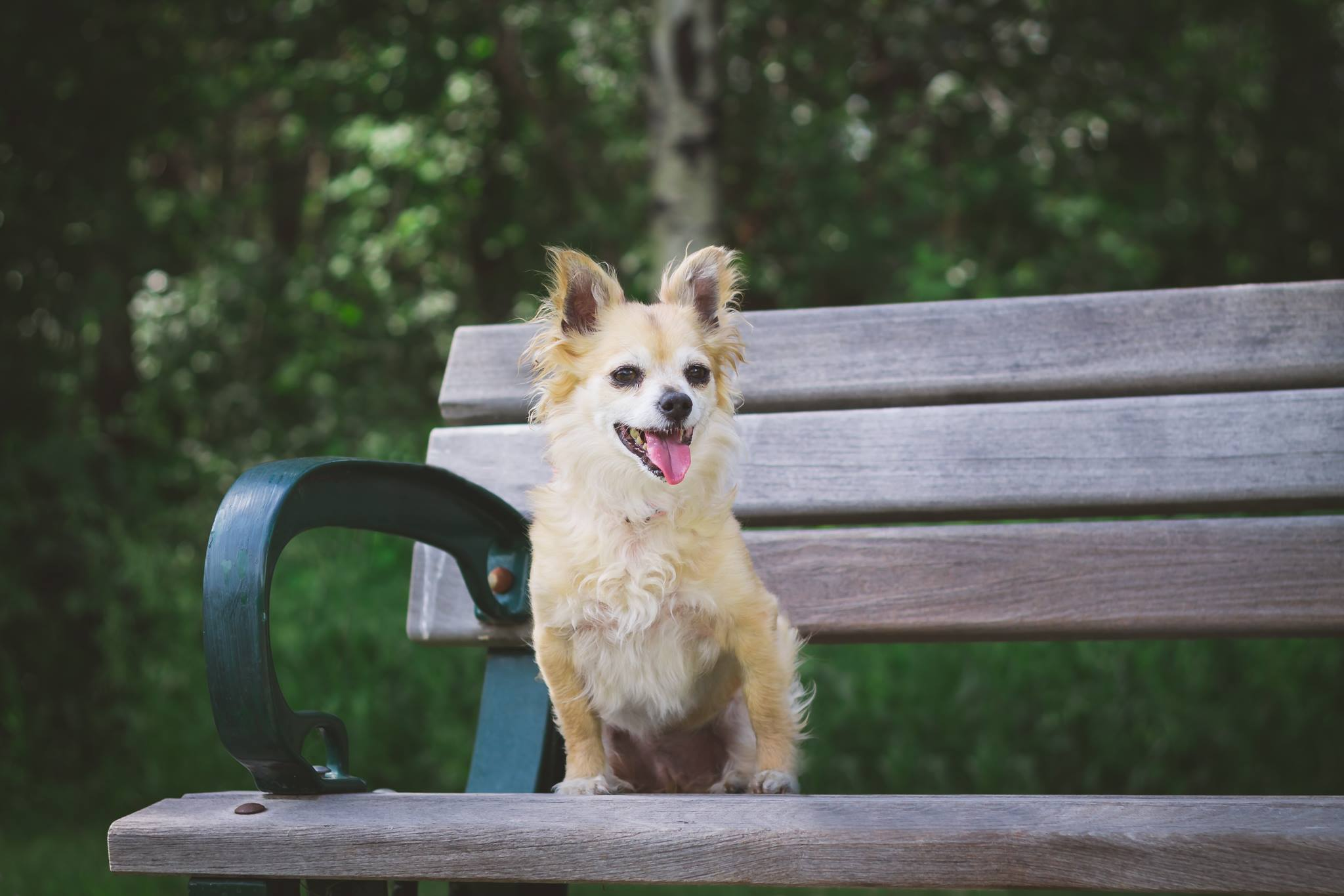 Adult canada dog in rescue