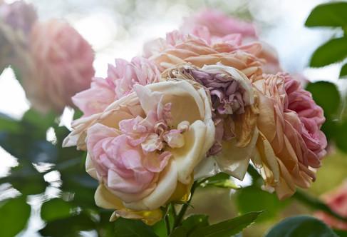 Interiors Hertfordshire - Interiors photographer Christina Bull roses