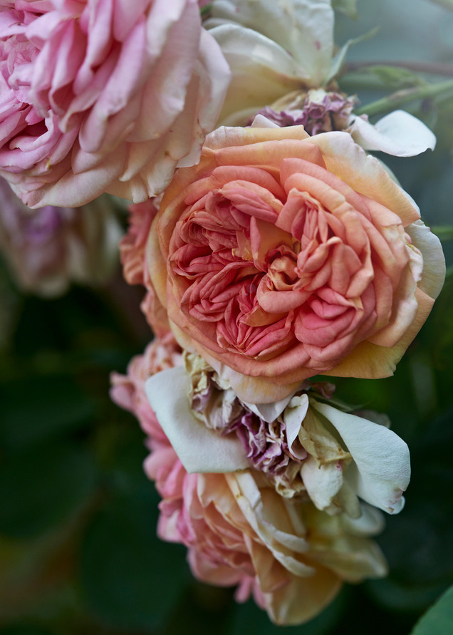 Flowers roses Interiors photographer Christina Bull