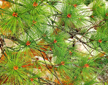 White pine needles with spring buds
