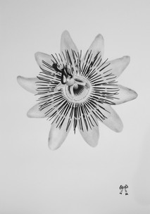 """Passionflower, graphite on paper, 2018, 24"""" x 34"""""""