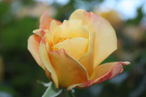 La rosa che mi punse in Saragozza, Bolog