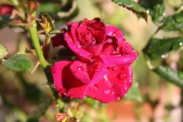 La rosa che mi punse in Saragozza