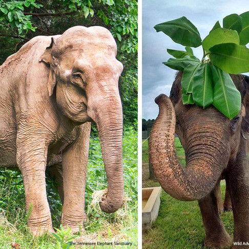 Keira, Arya, Asha, The Urban Elephant, A Tale of Two Shirley's are in the Elephant in the Room!