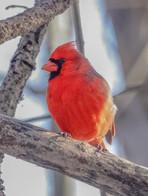 Cardinal rouge, mâle