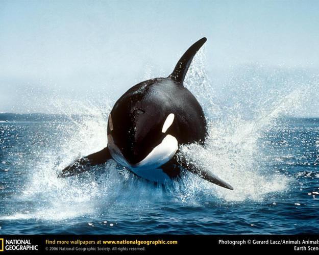 animals-splashes-whale-orca-National-Geo