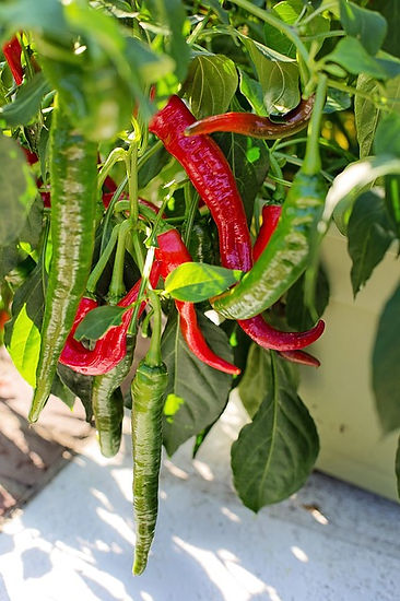 Red and green chile on vine