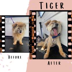 Tiger's Transformation!