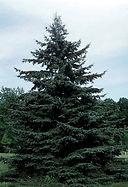 Spruce-Blackhills.jpg