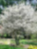 Serviceberry.jpg