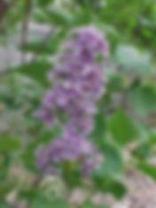 Lilac-Common.jpg