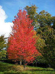 Rubrum-maple.jpg