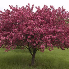 Crabapple-Red-Splendor.jpg
