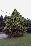 Arborvitae-American.jpg