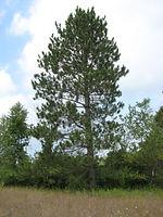 red-pine.jpg