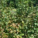 Hazelnut-1.jpg