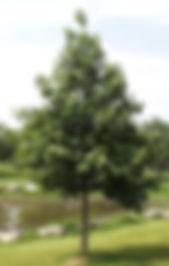 Swamp_white_oak.jpg