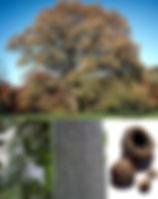 bur-oak.jpg