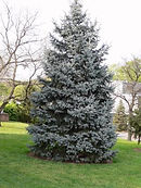 colorado-spruce.jpg