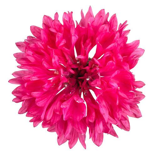 Cornflower 'Red Ball'