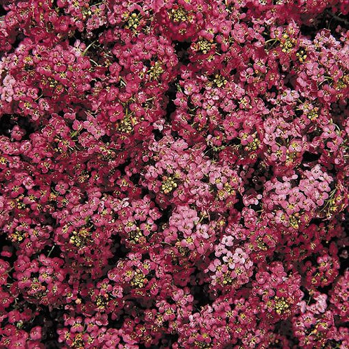 Alyssum Rose - Lobularia maritima