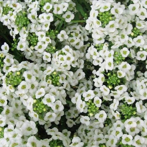 Alyssum White - Lobularia maritima