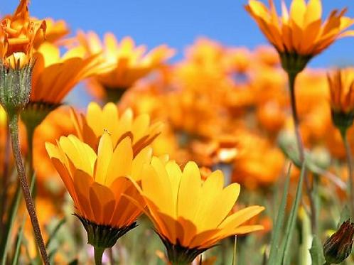Namaqualand Daisy - Dimorphoteca sinuata