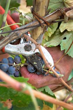 Druiven_wijnrank
