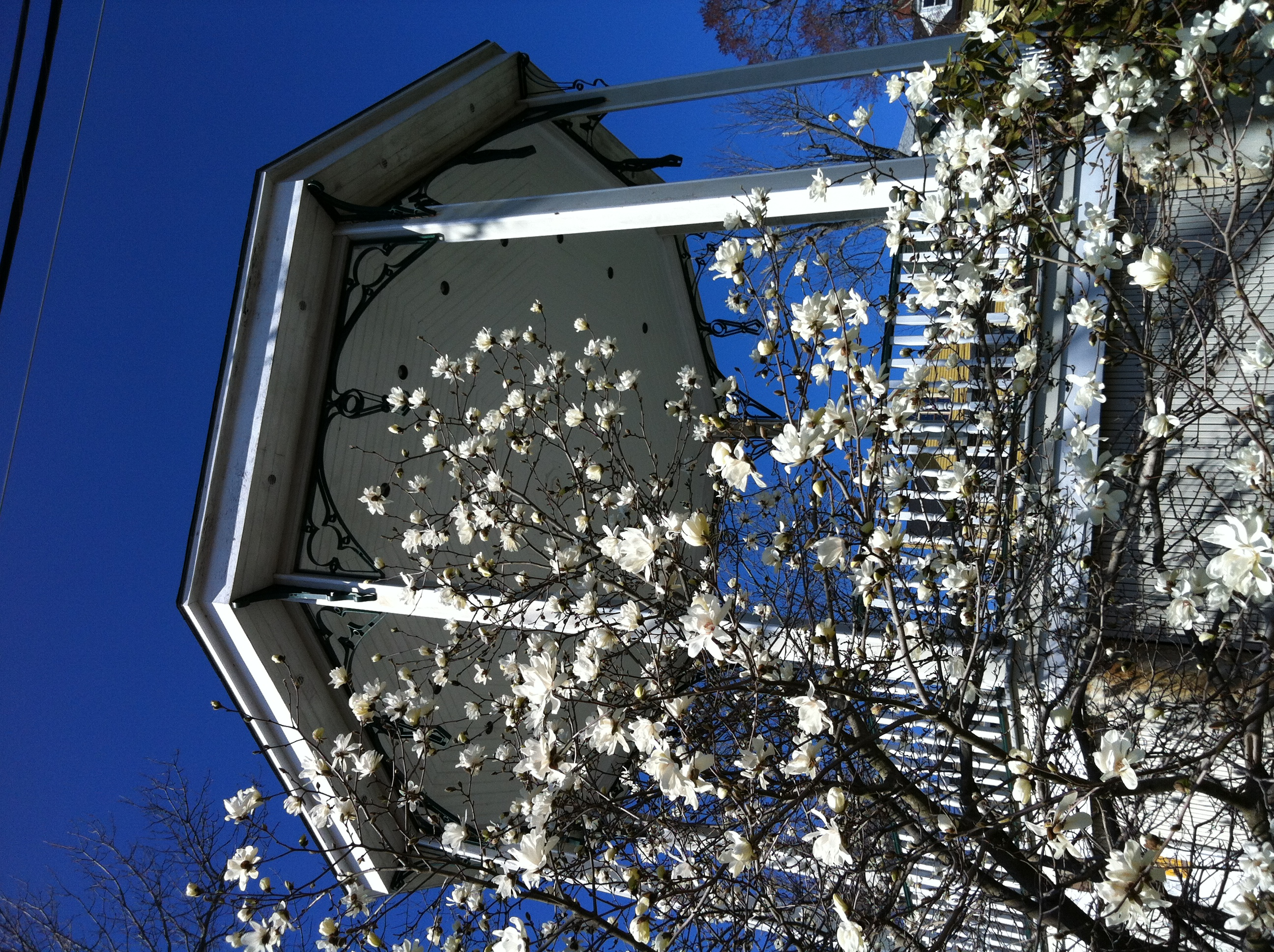 Town square magnolias