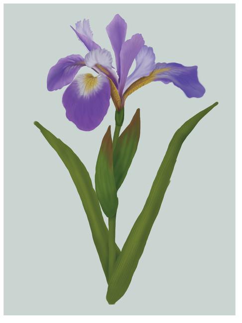 Blue-flag Iris.jpg