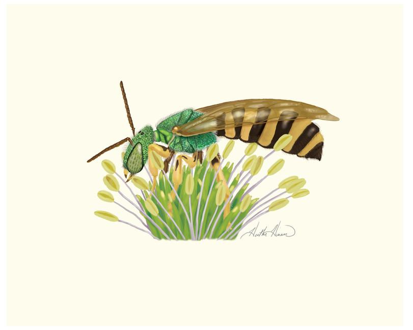 Sweat Bee Male.jpg