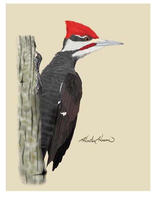 Piliated-Woodpecker.jpg