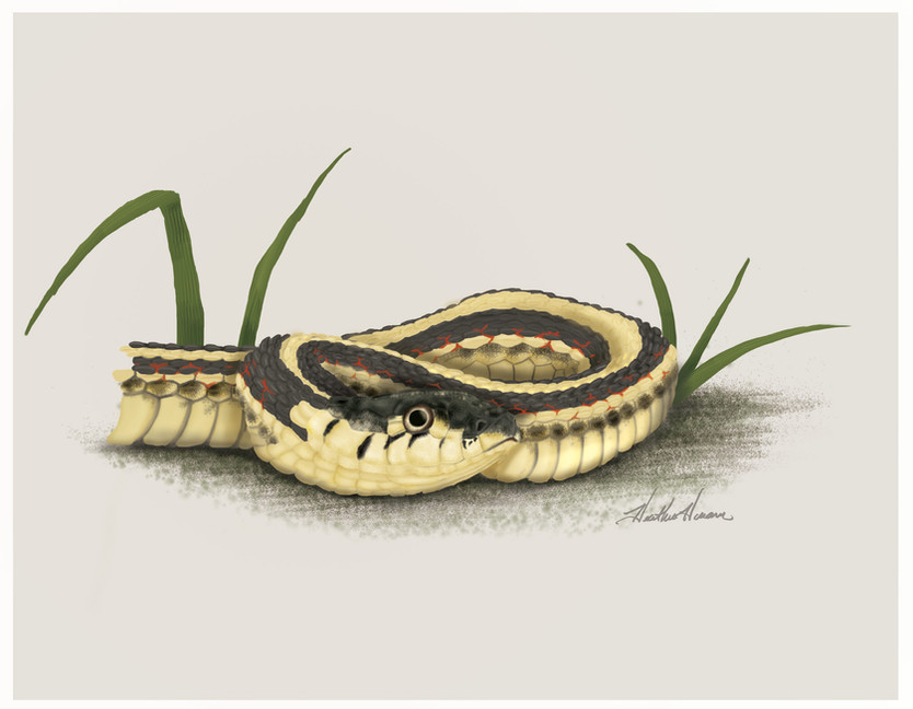 Red-sided-Garter-Snake.jpg