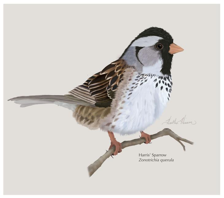 Harris'-Sparrow.jpg