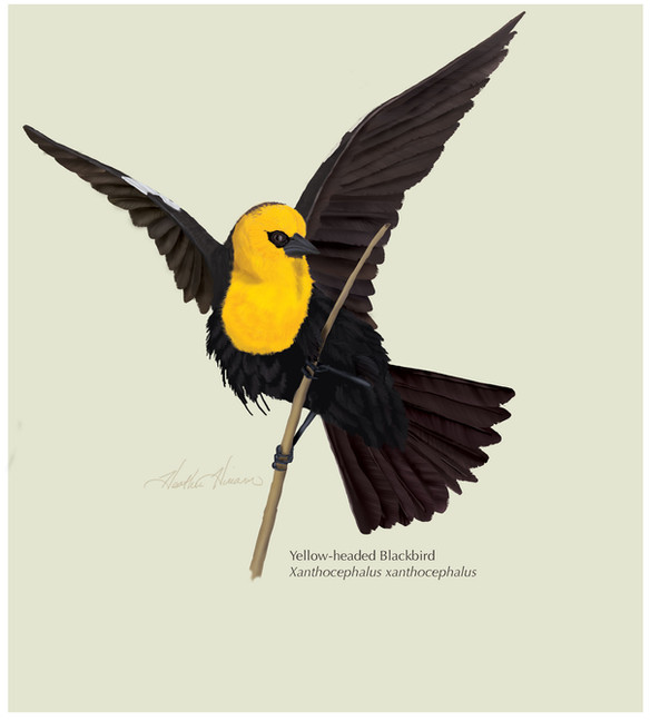 Yellow-headed-Blackbird.jpg