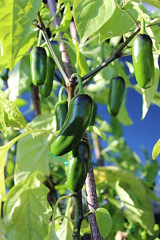 green-chili-pepper-on-brown-tree-branch-